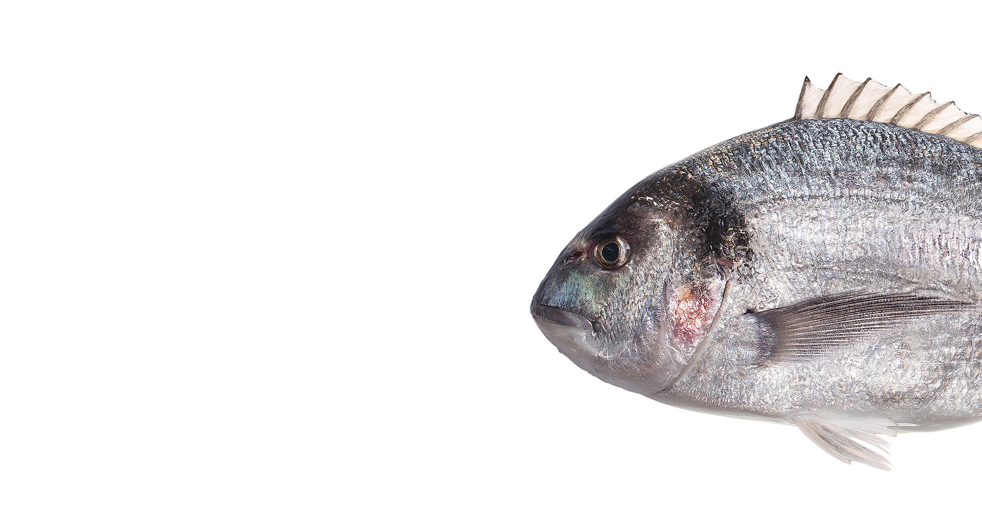 Sea Bream (Sparus Aurata)